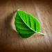 0mh0hfpesqimuvmtjshy+leaf_wood_small