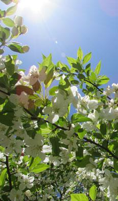 Dcffs5acrwywy9rxcpu3+white_blossoms